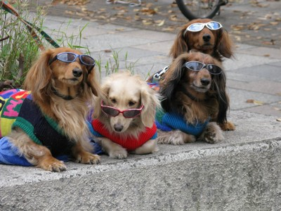 funny dogs dressed up. Pet dogs dressed up by their